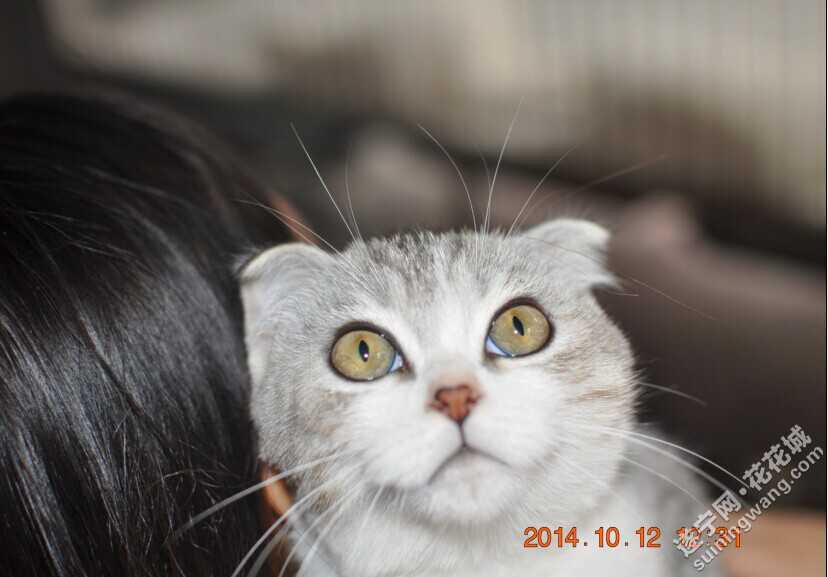 银建成猫-老吴第一次推荐 美短加白折耳猫 ,美短银虎斑 遂宁宠物家园