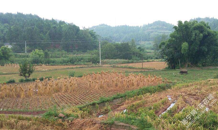 收割后的稻田