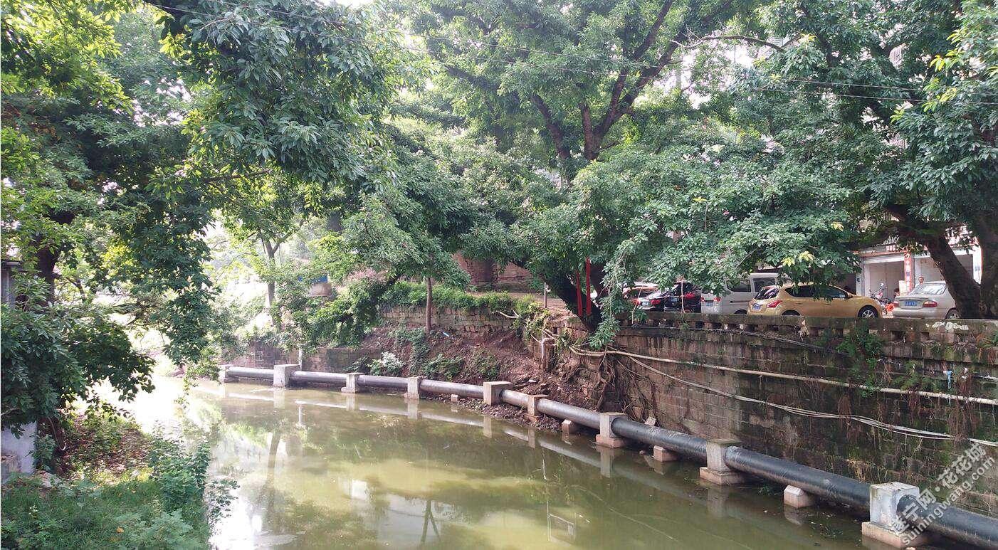 西眉河边的黄桷古树