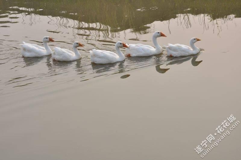 纵鸭划水游得快